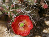 Cactus Flower, Langtry TX