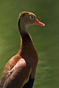 Blackbellied Whistling Duck