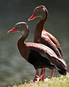 Blackbellied Whistling Duck Pair