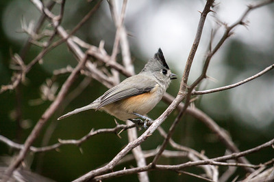 Black Crested Titmouse 2
