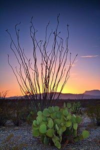 Big Bend Cacti