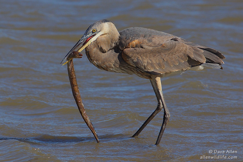 Great blue heron with a  Moray Eel