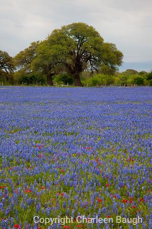Bluebonnet Field & Oak MG1420-4414