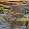 Green heron with a Minnow