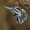 black and white warbler bird