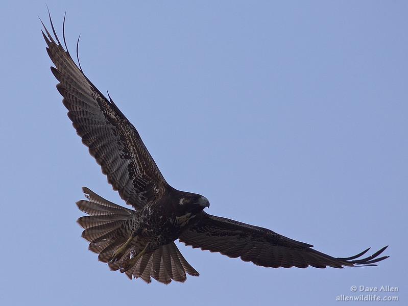 White tailed hawk juvenile