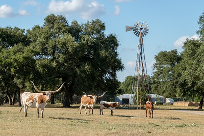 Longhorns Near the Windmill