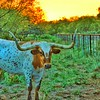 """""""Longhorn Sunset"""" - Must be back in Texas!"""