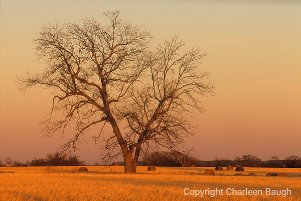 Tree In Evening Light