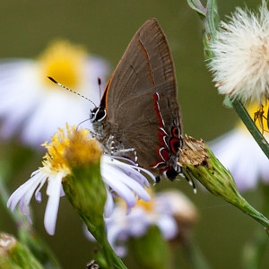 Red Banded Hairstreak 2