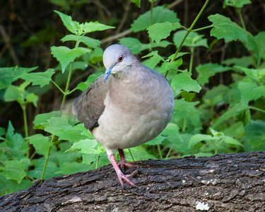 White Tipped Dove 1