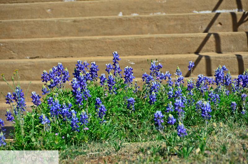 Blue bonnets in front of chapel in Mason, Texas