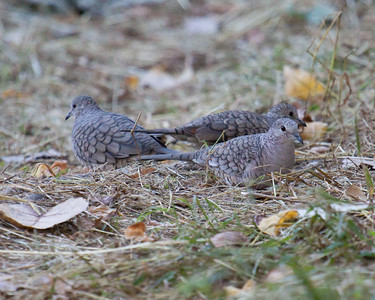 Inca  Doves in Texas