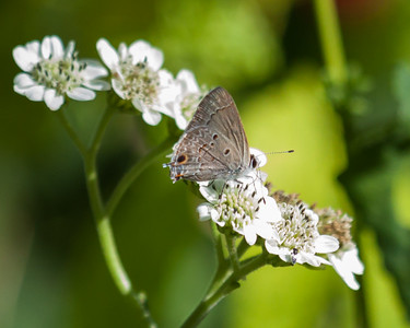White Wildflowers Adorned with Gray Hairstreak Butterfly
