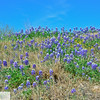 Texas blue bonnets