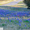 Blue bonnets north of Fredricksburg, Texas