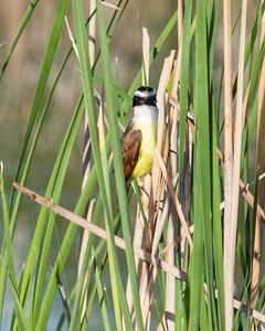 Kiskadee in Reeds