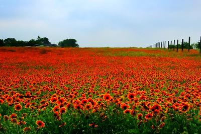 Acres of Blanket Flowera