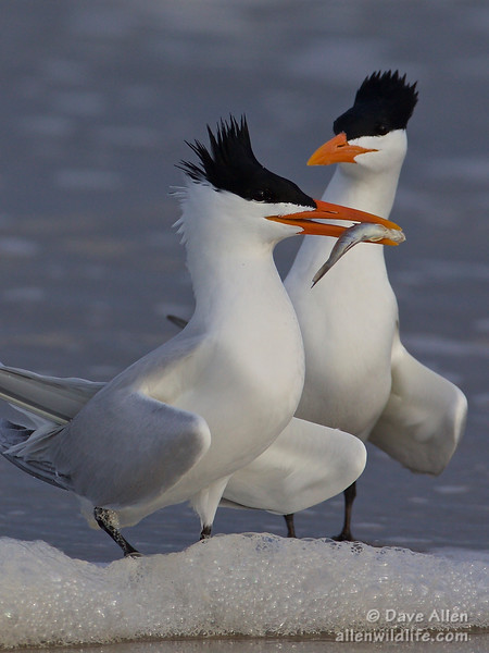 Royal terns courting.