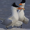 Royal terns courting.