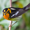 Blackburnian warbler.