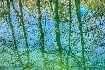 Reflections of Bald Cypress Trees, Blue Hole Regional Park, Wimberley, Texas