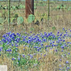 Blue bonnets and cactus
