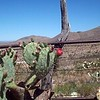 Prickly pear and old fence 2