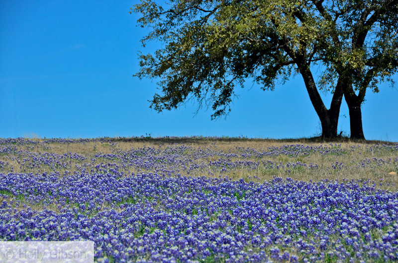Blue bonnets in Marble Falls, Texas