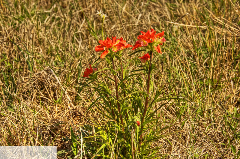 Indian Paintbrush - Texas Hill Country