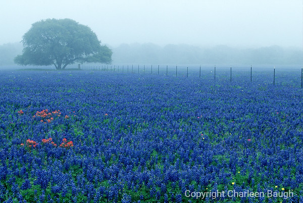 Foggy Field & Bluebonnets