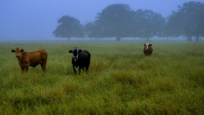 Texas r018 three cows in the fog near College Station