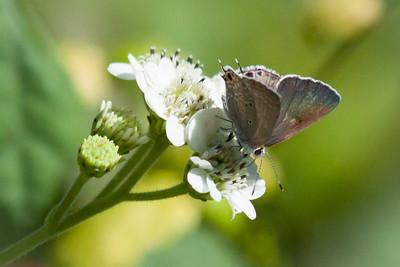 Gray Hairstreak on White Wildflower