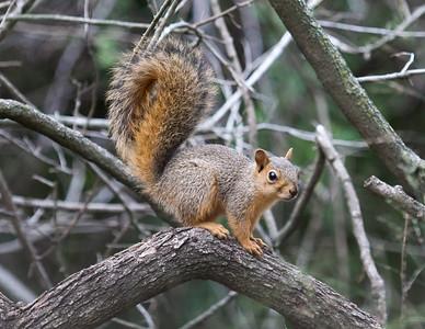 squirrel, Mission Texas, 2014,Bentsen State Park, -6621
