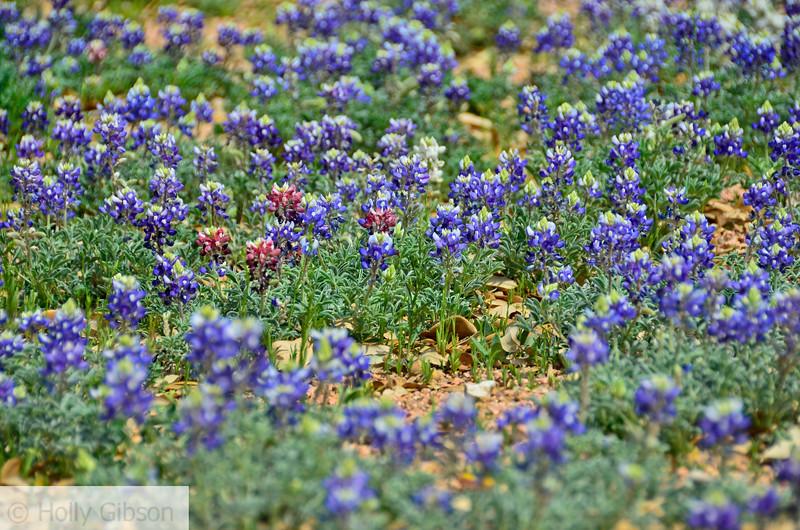 Wildflowers at wildflower farm near Fredricksburg, Texas