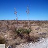 Yucca on the trail
