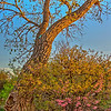 Cottonwood tree - Wichita Falls, Texas