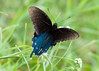 Ravaged Pipevine Swallowtail