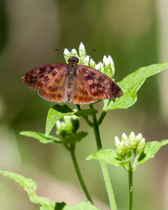 Rare Brown Butterfly