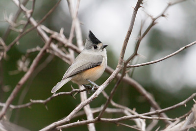 1 Black Crested Titmouse