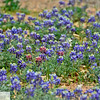 Blue bonnets at wildaflower farm east of Fredricksburg, Texas
