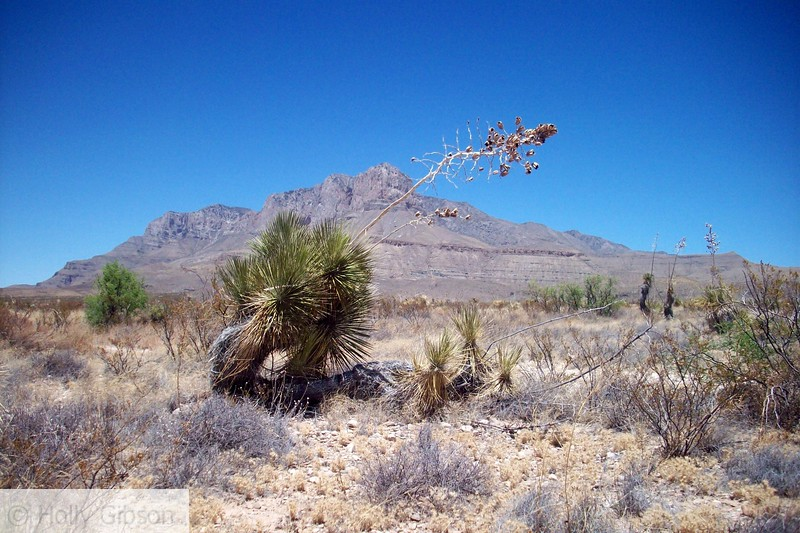 Leaning yucca with Guadalupe Peak in background