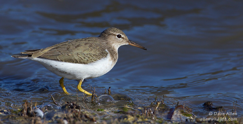Spotted Sandpiper Adult nonbreeding