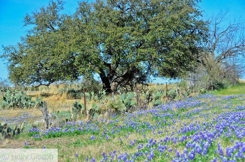 Tree and blue bonnets east of Mason,Texas on Highway 29