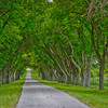 Tree-lined drive in the hill country
