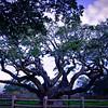 Big Tree, Goose Island Texas #2