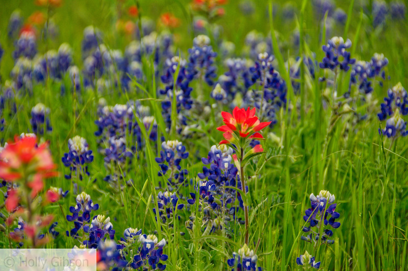 Wildflowers in the Texas hill country