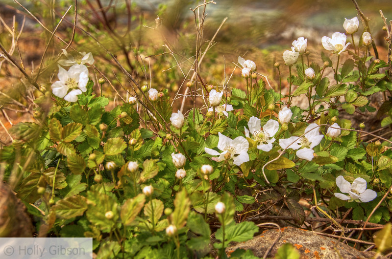 Wild Roses - Texas