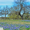 Wildflowers near Fredricksburg, Texas and Stonewall cabin