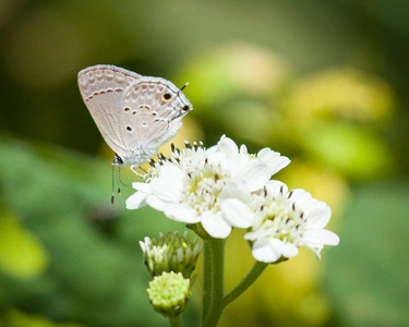 Gray Hairstreak Butterfly Close Up